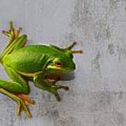 Beautiful American Green Tree Frog On Grunge Background  Poster