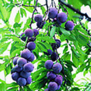 Beautiful Blue Plums On The Tree Poster
