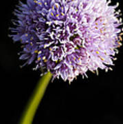 Beautiful Purple Flower With Black Background Poster