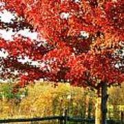 Beautiful Red Maple Tree  Poster