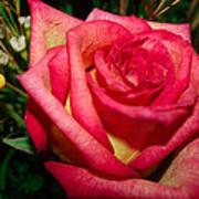 Beautiful Rose Poster by David Alexander