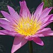 Beautiful Water Lily Poster