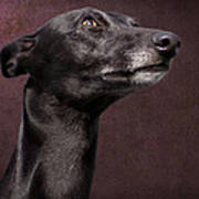 Beautiful Whippet Dog Poster by Ethiriel  Photography