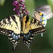 Beauty Of Butterflies  Poster