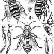Bee Anatomy Historical Illustration Poster