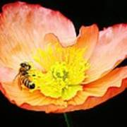 Bee Asleep In A Flower Poster