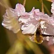 Bee Fly Feeding 1 Poster