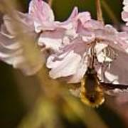 Bee Fly Sucking Nectar 1 Poster