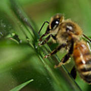 Bee In Green Poster