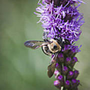 Bee On Gayfeather Squared 2 Poster
