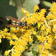 Bee On Goldenrod Poster