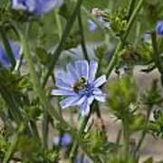 Bee On Romaine Flower Poster