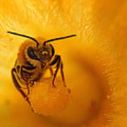 Bee On Squash Flower Poster