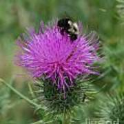 Bee On Thistle Poster