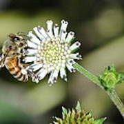 Bee On White Clover Poster