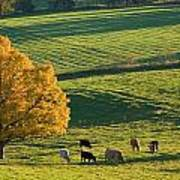 Beef Cattle Grazing In Autumn, North Poster