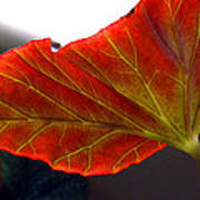 Begonia Leaf Poster
