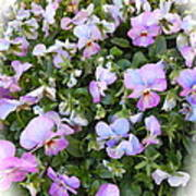 Begonias In Bloom Poster