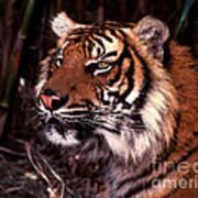 Bengal Tiger Watching Prey Poster