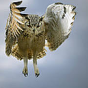 Bengalese Eagle Owl In Flight Poster