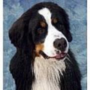 Bernese Mountain Dog 11 Poster