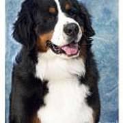 Bernese Mountain Dog 194 Poster