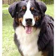 Bernese Mountain Dog 399 Poster