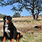 Bernese Mountain Dog In California Chaparral Poster