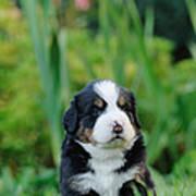 Bernese Mountain Dog Puppy Portrait Poster