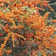 Berry Orange Poster