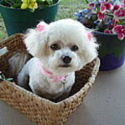 Bichon In A Basket Poster
