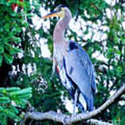 Big Bird - Great Blue Heron Poster