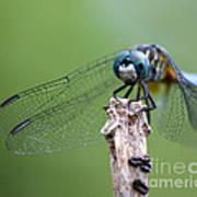 Big Eyes Blue Dragonfly Poster