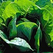 Big Green Cabbage Poster