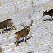 Big Mule Deer Buck Poster