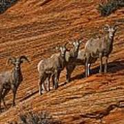 Bighorn Sheep, Zion National Park, Utah Poster