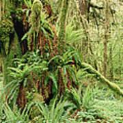 Bigleaf Maple Acer Macrophyllum Trees Poster