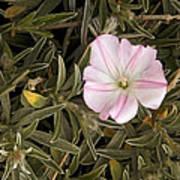 Bindweed (convolvulus Oleifolius) Poster