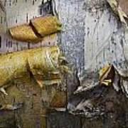 Birch Tree Bark No.0863 Poster