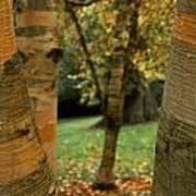 Birches In Autumn Poster