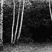 Birches In Black And White Poster