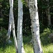 Birches On A Meadow Poster