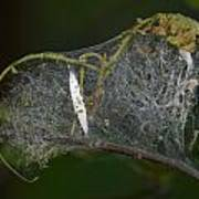 Bird-cherry Ermine Caterpillars Poster