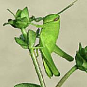 Bird Grasshopper Nymph Poster