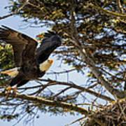 Birds Of Bc - No.27 - Bald Eagle - Haliaeetus Leucocephalus Poster