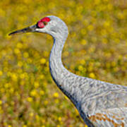 Birds Of Bc - No. 35 - Young Sand Hill Crane Poster