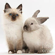Birman-cross Kitten And Young Poster
