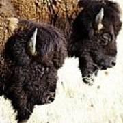 Bison Bison Poster