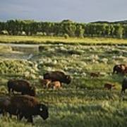 Bison Graze On Grasslands In The Park Poster