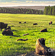 Bison Herd In Yellowstone Poster